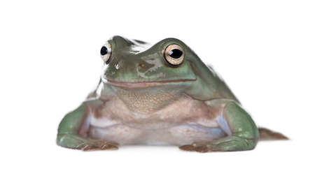 Portrait of Australian Green Tree Frog, Litoria caerulea, against white background, studio shot photo