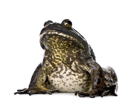 grenouille: Bullfrog, Gastrotheca catesbeiana, sur fond blanc, studio abattu