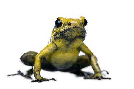 dart frog: Golden Poison Frog, Phyllobates terribilis, against white background, studio shot