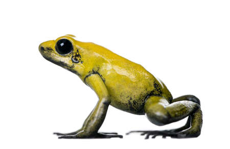 dart frog: Side view of Golden Poison Frog, Phyllobates terribilis, against white background, studio shot