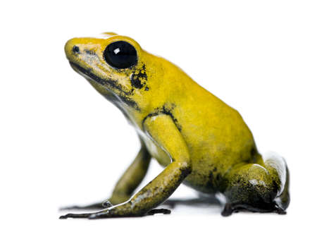 poison dart frog: Side view of Golden Poison Frog, Phyllobates terribilis, against white background, studio shot
