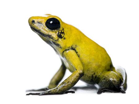 poison frog: Vista laterale del Golden Poison Frog, Phyllobates terribilis, su sfondo bianco, foto Archivio Fotografico