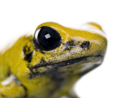 rana venenosa: Close-up of Golden Poison Frog, Phyllobates terribilis, sobre fondo blanco, disparo de estudio  Foto de archivo