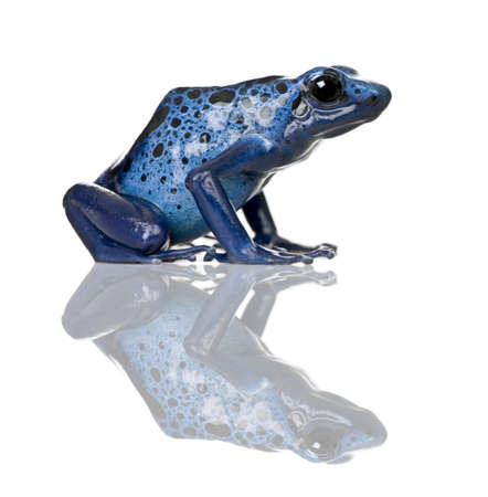 dart frog: Side view of Blue Poison Dart frog, Dendrobates azureus, against white background, studio shot