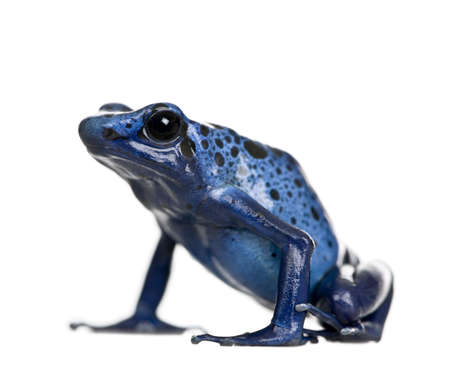 amphibia: Blue Poison Dart frog, Dendrobates azureus, against white background, studio shot Stock Photo