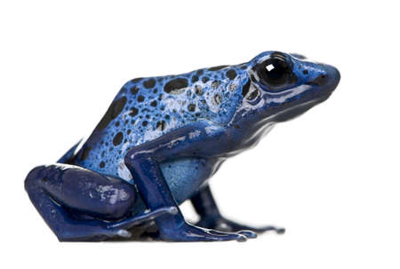 tropical frog: Side view of Blue Poison Dart frog, Dendrobates azureus, against white background, studio shot