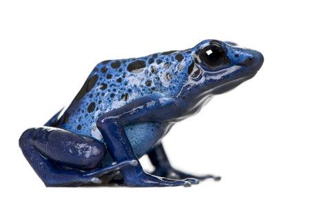 poison frog: Vista laterale della rana Blue Poison Dart, Dendrobates azureus, su sfondo bianco, foto  Archivio Fotografico
