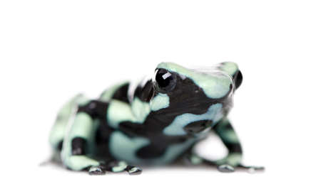 Green and Black Poison Dart Frog, Dendrobates auratus, against white background, studio shot Stock Photo - 5570108