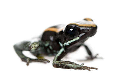 vittatus: Side view of Golfodulcean Poison Frog, Phyllobates vittatus, against white background, studio shot
