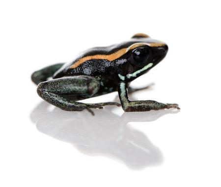 poison frog: Vista laterale del Golfodulcean Poison Frog, Phyllobates vittatus, su sfondo bianco, studio shot