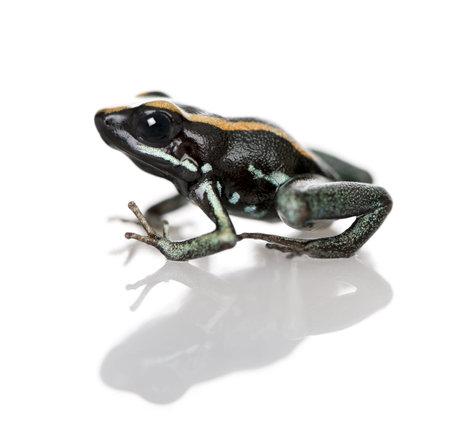 amphibia: Side view of Golfodulcean Poison Frog, Phyllobates vittatus, against white background, studio shot