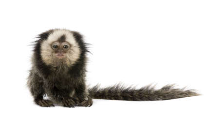 marmoset: Young White-headed Marmoset, Callithrix geoffroyi, 5 months old, in front of white background, studio shot