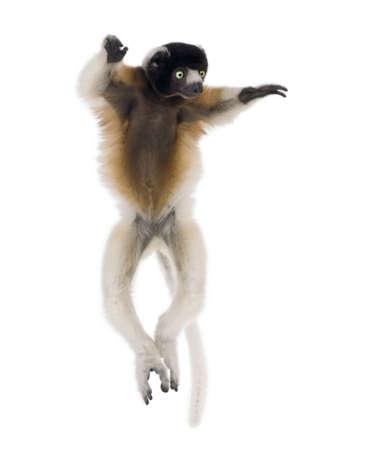 1 year old: Young Crowned Sifaka, Propithecus Coronatus, 1 year old, dancing in front of white background, studio shot  Stock Photo