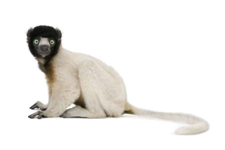 1 year old: Young Crowned Sifaka, Propithecus Coronatus, 1 year old, sitting against white background, studio shot