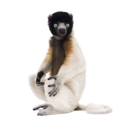 1 year old: Young Crowned Sifaka, Propithecus Coronatus, 1 year old, sitting in front of white background, studio shot  Stock Photo