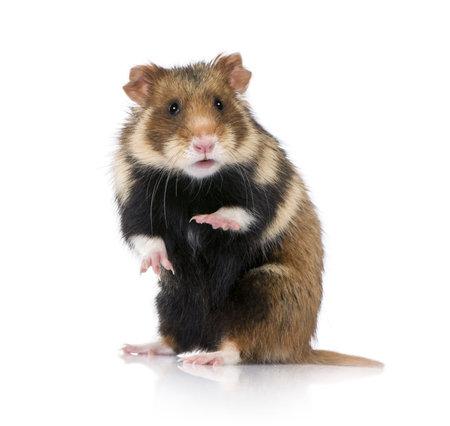 cute hamster: Portrait of European Hamster, Cricetus cricetus, against white background, studio shot