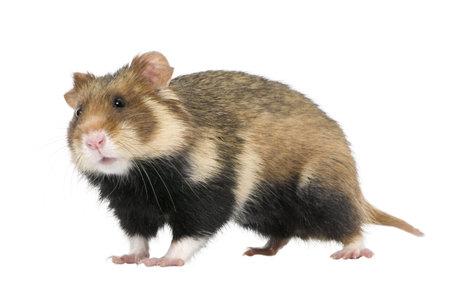 roedor: Retrato de Hamster Europeo, Cricetus cricetus, sobre fondo blanco, disparo de estudio