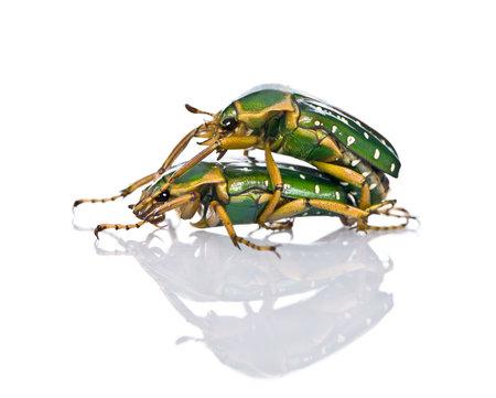 having sex: East Africa flower beetles having sex, Stephanorrhina guttata, in front of white background, studio shot