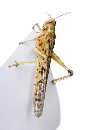 langosta: Dispar� contra la langosta del desierto en trozo de papel, Schistocerca gregaria, estudio