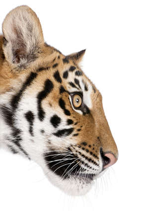 panthera tigris: Perfil de primer plano del tigre de Bengala, Panthera tigris tigris, 1 a�o de edad, en frente de fondo blanco, disparo de estudio