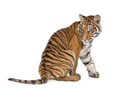 tigre blanc: S�ance de tigre du Bengale, Panthera tigris tigris, 1 an, en face de fond blanc, studio abattu