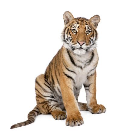 Бенгалия: Portrait of Bengal Tiger, 1 year old, sitting in front of white background, studio shot, Panthera tigris tigris