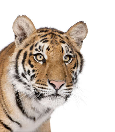 Бенгалия: Close-up of Bengal Tiger, Panthera tigris tigris, 1 year old, in front of white background, studio shot Фото со стока