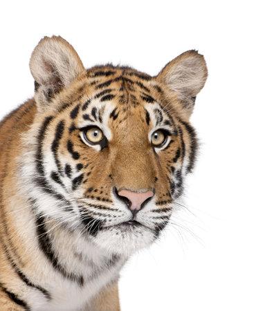 white tiger: Close-up of Bengal Tiger, Panthera tigris tigris, 1 year old, in front of white background, studio shot Stock Photo