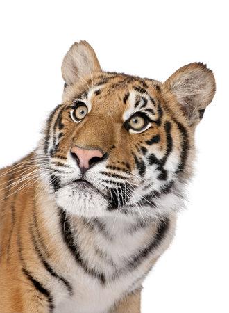 tigre blanc: Close-up portrait de tigre du Bengale, Panthera tigris tigris, 1 an, en face du fond blanc, studio shot