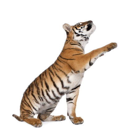 predators: Bengal Tiger, Panthera tigris tigris, 1 year old, reaching in front of white background, studio shot Stock Photo