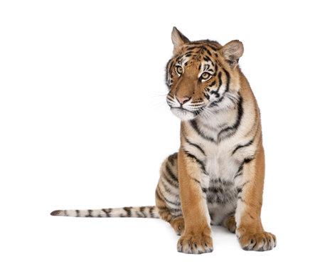 sit: Portrait of Bengal Tiger, Panthera tigris tigris, 1 year old, sitting in front of white background, studio shot