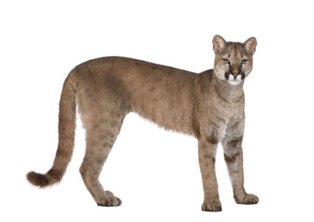 puma cat: Portrait of Puma cub, Puma concolor, 1 year old, standing in front of white background, studio shot