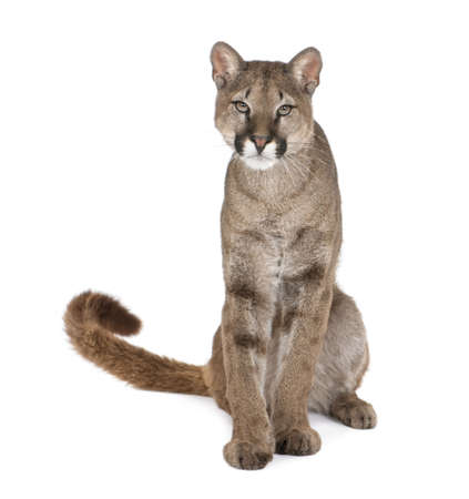 1 year old: Portrait of Puma cub, Puma concolor, 1 year old, sitting in front of white background, studio shot