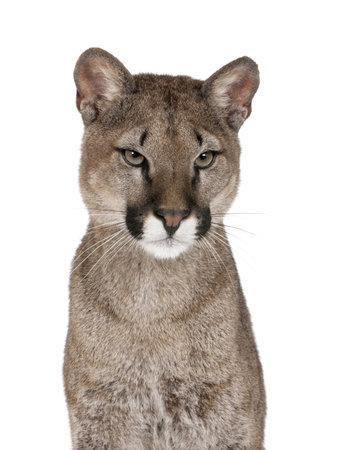 Portrait of Puma cub, Puma concolor, 1 year old, sitting against white background, studio shot photo