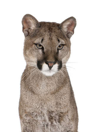 Portrait of Puma cub, Puma concolor, 1 year old, sitting against white background, studio shot photo