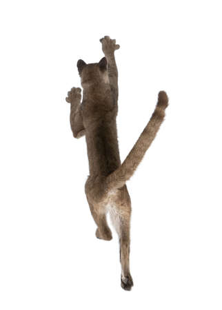 1 year old: Rear view of Puma cub, Puma concolor, 1 year old, leaping in midair against white background, studio shot