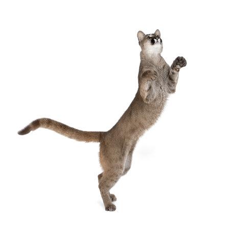cachorro: Cachorro de puma, Puma concolor, 1 a�o de edad, de pie en las patas traseras y buscando hasta sobre fondo blanco, estudio dispar� Foto de archivo