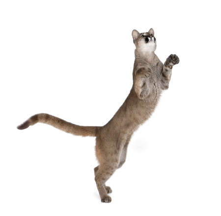 hind: Puma cub, Puma concolor, 1 year old, standing on hind legs and looking up against white background, studio shot