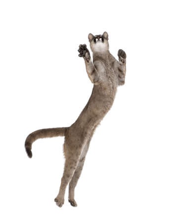 Puma cub, Puma concolor, 1 year old, leaping in midair against white background, studio shot Stock Photo - 5569762
