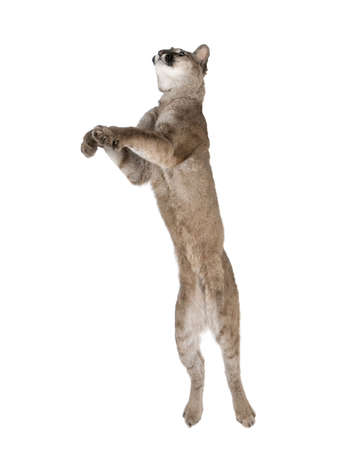 Puma cub, Puma concolor, 1 year old, leaping in midair against white background, studio shot photo