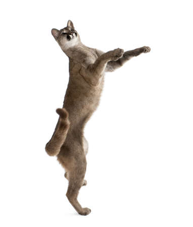 Puma cub, Puma concolor, 1 year old, reaching and looking up against white background, studio shot photo