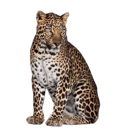 Portrait of leopard, Panthera pardus, sitting in front of white background, studio shot Stock Photo - 5569821