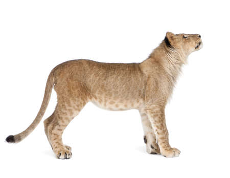 Side view of Lion cub, 8 months old, standing in front of white background, studio shot  Stock Photo
