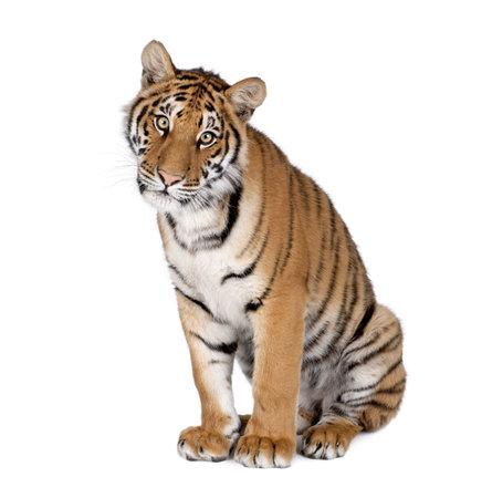 tiger: Portrait of Bengal Tiger, Panthera tigris tigris, 1 year old, sitting in front of white background, studio shot