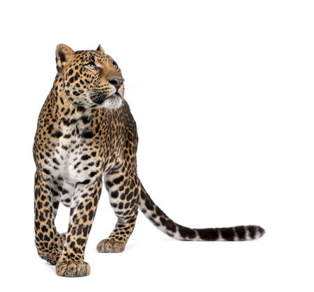 leopard cat: Leopard, Panthera pardus, walking and looking up against white background, studio shot Stock Photo