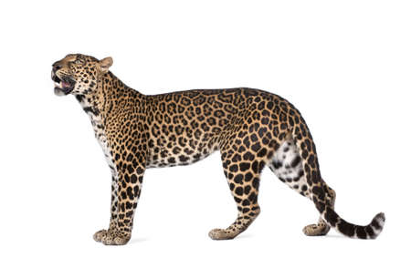 panthera pardus: Portrait of leopard, Panthera pardus, standing in front of white background, studio shot
