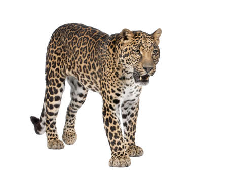isolated spot: Portrait of leopard, Panthera pardus, standing in front of white background, studio shot