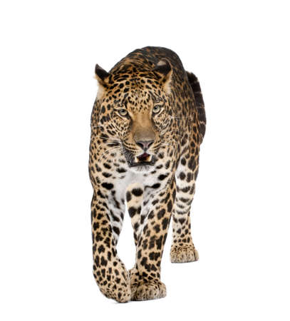 leopard: Portrait of leopard walking and snarling, Panthera pardus, against white background, studio shot