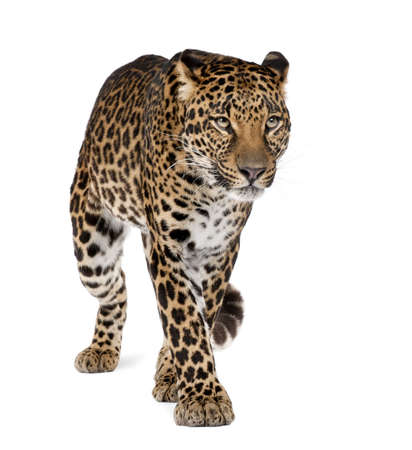 isolated spot: Leopard, Panthera pardus, walking against white background, studio shot