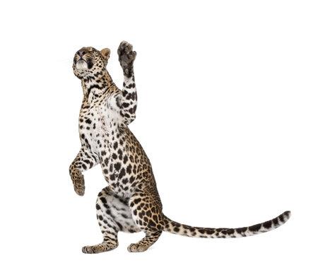 panthera pardus: Leopard, Panthera pardus, reaching up against white background, studio shot